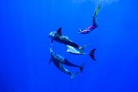 小笠原のミナミハンドウイルカと泳ぐ人
