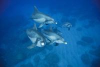 向かってくるミナミハンドウイルカの群れ