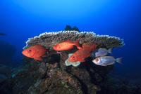 サンゴの下で体色を変えるホウセキキントキ