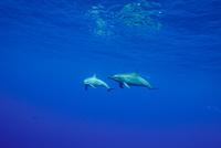 小笠原のハシナガイルカ