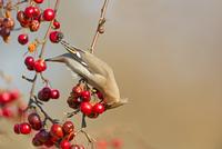 カイドウズミを捕食するキレンジャク