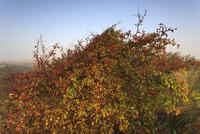ホーソンベリーの赤い実