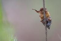 ヨーロッパコフキコガネ