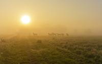 朝霧の草原とウマ