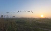 飛ぶカナダガンの群れ