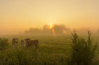 朝霧の中草を食むウシ