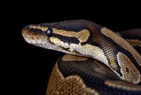 ボールニシキヘビ 頭部