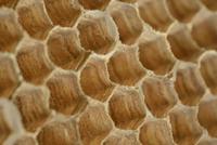 モンスズメバチの巣 アップ