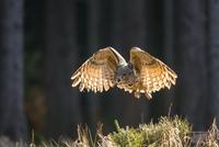 飛ぶワシミミズク