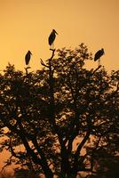 アフリカハゲコウ シルエット