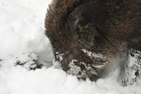 雪の中を採餌するヨーロッパイノシシ