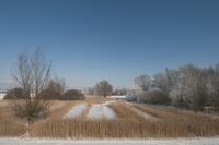 冬のアシの風景