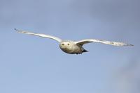 飛ぶシロフクロウ