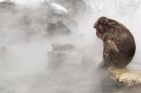 温泉の縁にすわるニホンザル