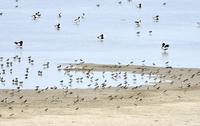 ハジロコチドリとハマシギの群れ