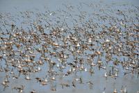 オオソリハシシギの群れ