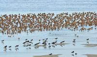 オオソリハシシギとミヤコドリの群れ