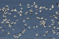 飛ぶソリハシセイタカシギの群れ