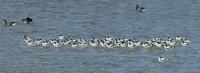 ソリハシセイタカシギの群れ