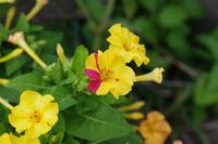 オシロイバナの花のアップ