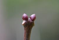 ゴンズイの冬芽