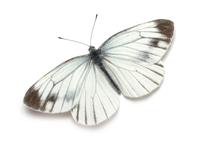 スジグロシロチョウ夏型のオス
