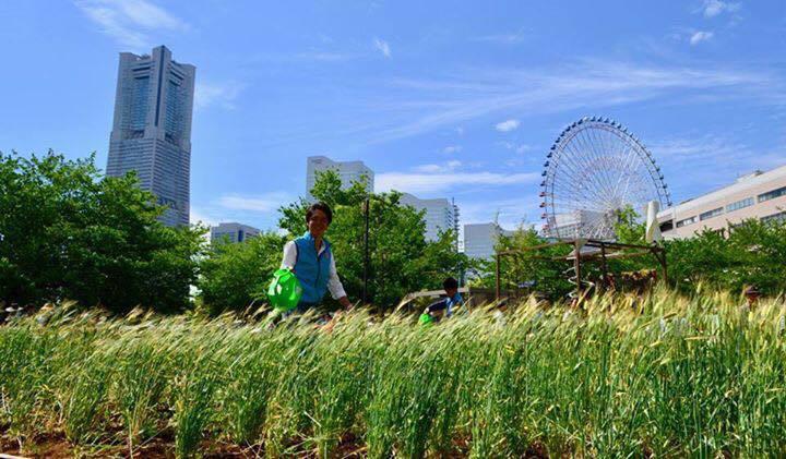 運河パークに開設された「みんなで作る麦畑」