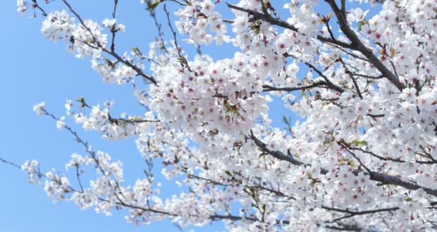 桜アイキャッチ