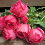 大切に育てているバラ、美しく咲かせるために植え替えをしましょう。のサムネイル画像