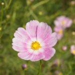 私たちの周りにはかわいい花がいっぱい!どんなかわいい花が好き?のサムネイル画像