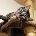 自作キャットタワーで遊んでくれるにゃんこは最大級にかわいい!のサムネイル画像