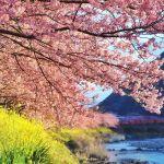 【春は待たずに、迎えに行こう♡】週末は少し遠出して《河津桜》を愛でる旅へのサムネイル画像