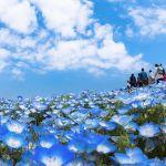 空と一体化!GWは瑠璃色じゅうたんの地へ♡《日本一のネモフィラ畑》のサムネイル画像