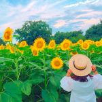 今すぐにでも行きたい♡フォトジェスポット《関東のひまわり畑3選》のサムネイル画像