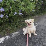 かわいすぎるとSNSで話題に♡白いmix犬の《おもちくん》特集のサムネイル画像