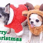 不動の人気の小型犬!チワワのかわいい洋服まとめました!!のサムネイル画像