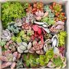 人気の多肉植物ランキングをまとめてみました♪お気に入りはある?のサムネイル画像
