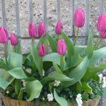 【植えるなら今!】チューリップの植え方とチューリップの種類のサムネイル画像