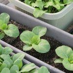 キットで簡単に野菜作り! 【ベランダ菜園】を始めてみませんか?のサムネイル画像
