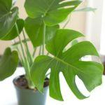 インテリア性の高い観葉植物、お好みの品種を育ててみませんか?のサムネイル画像