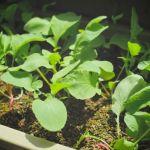 マンションのベランダが畑になる!?広大な畑がなくても菜園を楽しむのサムネイル画像