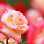 人気のお花の種類♪ご自宅で育ててお花に癒されてみませんか?のサムネイル画像