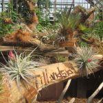 植木鉢や花瓶の必要ないエアプランツ。どんな種類があるんだろう?のサムネイル画像