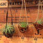 土がいらないインテリアグリーン『エアプランツ』のおしゃれな飾り方のサムネイル画像