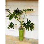 お部屋にグリーンインテリア☆観葉植物のセロームを置きませんか!のサムネイル画像