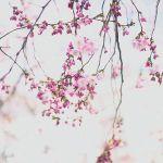 桜が散る前に、今週末はスニーカーでお花見デートはいかが?のサムネイル画像