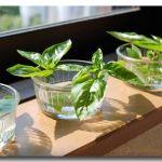 食べておいしい!育てて楽しい!バジルの水耕栽培をしてみよう!のサムネイル画像