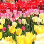 春のシンボル、チューリップの花を球根から育ててみましょう!のサムネイル画像