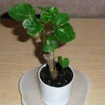 種類の豊富さと涼しげな姿が人気☆観葉植物ポリシャスを育てようのサムネイル画像