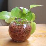 生活にいやしの空間を☆ハイドロカルチャーで観葉植物を育ててみようのサムネイル画像
